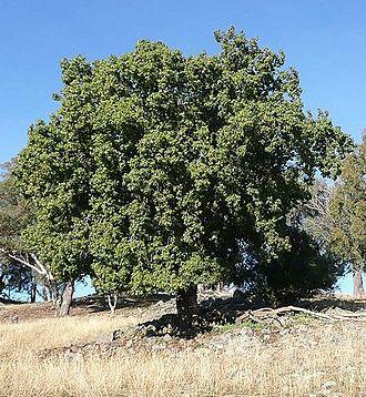 Brachychiton populneus - A large adult Kurrajong, B. populneus, in regional NSW, Australia