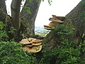 Bracket fungus on a tree near the Rhymers Stone - geograph.org.uk - 1722671.jpg