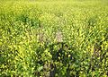 Brassica mustard farm in Andhra Pradesh PIC 0023.jpg