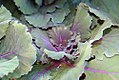 Brassica oleracea var. capitata Red Dynasty 0zz.jpg