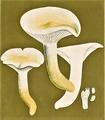 Bresadola - Hygrophorus penarius.png