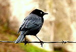 Brewer's Blackbird.jpg