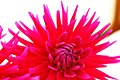 Bright Pink (4271320567).jpg