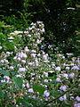 Brombeerblüte (1).jpg