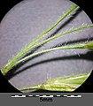 Bromus tectorum sl20.jpg