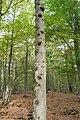 Broussin-brogne quercus robur.jpg