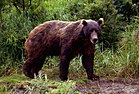 Kodiak Island Spring Bear Hunts