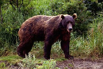Brown bear, Kamchatka peninsula. Brown bears are among the largest and most widespread taiga omnivores. Brown-bear-in-spring.jpg