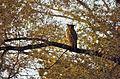 Brown Fish Owl (Ketupa zeylonensis) (20820775496).jpg