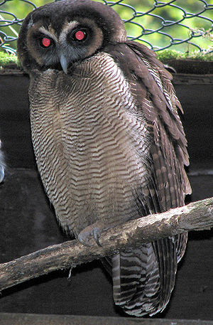 Strix (genus) - Brown wood-owl Strix leptogrammica