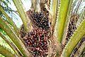 Buah kelapa sawit (20).JPG