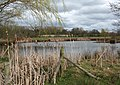 Bulrushes by mere, near Whitchurch - geograph.org.uk - 1231233.jpg