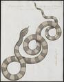 Bungarus annularis - 1734-1765 - Print - Iconographia Zoologica - Special Collections University of Amsterdam - UBA01 IZ11800089.tif