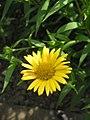 Buphthalmum salicifolium03.jpg