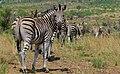 Burchell's Zebra (Equus quagga burchellii) (6817958735).jpg