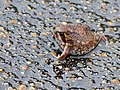 Bushveld Rain Frog (Breviceps adspersus) (12054464573).jpg