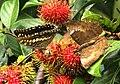Butterflies in a Rambutan tree @ Kanjirappally 01.jpg
