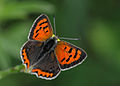 Butterfly Small Copper - Lycaena phlaeas.jpg
