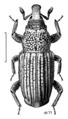 COLE Curculionidae Dryophthorus.png