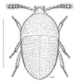 COLE Leiodidae Chelagyrtodes crowsoni.png