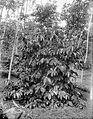 COLLECTIE TROPENMUSEUM Canephora koffiestruik op de onderneming Silowok Sawangan TMnr 10024169.jpg