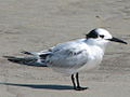 Cabot's Tern (Thalasseus acuflavidus) RWD2.jpg