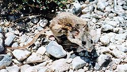Une souris des cactus, dans le Nevada