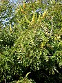 Caesalpinia spinosa 2c.JPG