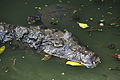 Caiman crocodilus in Barbados Wildlife Reserve 02.jpg