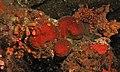 Calcareous Sponges (Leucettidae) (8458018571).jpg
