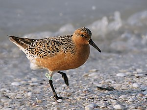 Red knot - Calidris canutus rufa, breeding plumage