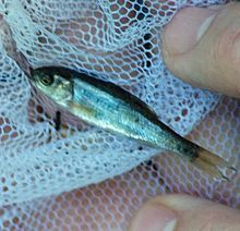 California roach (Lavinia symmetricus) netted in Adobe Creek II 2011-07-31.jpg