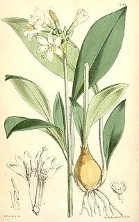 Caliphruria hartwegiana1CURTIS.jpg