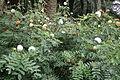 Calliandra haematocephala Alba kz4.JPG