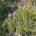 Calluna vulgaris - Oslo, Norway 2020-08-04 (02).jpg