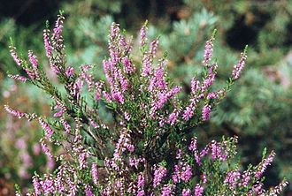 Portlethen Moss - True heather, a common plant on the Portlethen Moss