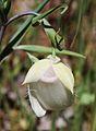 Calochortus albus flower.jpg