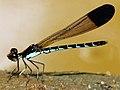 Calocypha laidlawi - male (14)a.jpg