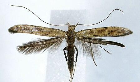 Caloptilia populetorum