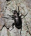 Calosoma inquisitor (Carabidae) (10136378123).jpg
