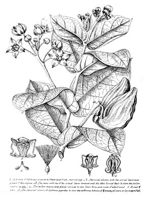 Robert Wight - Illustration of Calotropis published in 1835