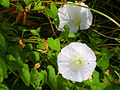 Calystegia sepium Flores 2013-8-22 LagunadeCaracuel.jpg