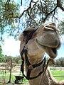 Camel-whiteman.jpg