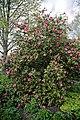 Camellia 'Leonard Messel' at RHS Garden Hyde Hall, Essex, England 01.jpg