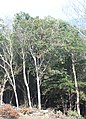 Camellia japonica s3.jpg