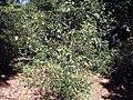 Camellia sasanqua Ake Yukusora 0zz.jpg