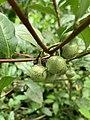 Camellia sinensis in the Morris Arboretum 02.jpg