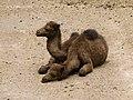 Camelus dromedarius - dromedary - Dromedar - dromadaire - Oasis Park - Fuerteventura - 06.jpg