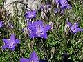 Campanula arvatica subsp adsurgens (14824673133).jpg