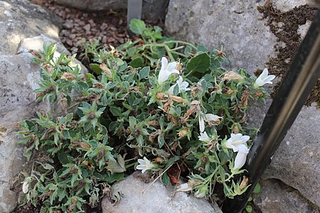 Campanula kachethica